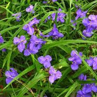 紫露草 丛生紫露草 紫叶草 红花紫露草 丛生紫露草小苗 园林