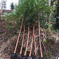 福建漳州桉树桉树苗基地各种规格批发  桉树价格