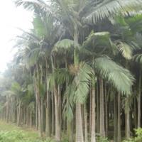 福建漳州假槟榔基地各种规格批发   假槟榔价格