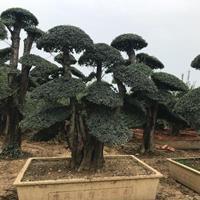 山东临沂地区特价供应对节白蜡造型树