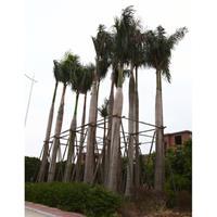 福建漳州大王椰子大量供应 大王椰子价格
