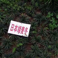 日本矮麦冬新价格,日本矮麦冬沙土培育,日本矮麦冬草快递发货