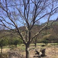 供应美国红枫20公分一支及三角枫大小苗