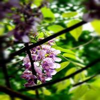 哪里有供应紫藤花盆景的?