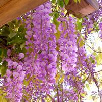 紫藤花基地小苗的价格