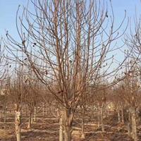 供應沙樸和欒樹及紅白玉蘭出售