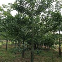 福建漳州美丽异木棉美人树基地各种规格大量批发供应