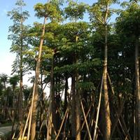 福建漳州木棉基地各种规格大量批发供应  自家货源