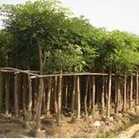 福建漳州桃花心木基地各种规格大量批发供应 自己货源,无中介