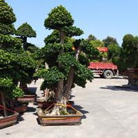 福建漳州榕树造型桩景基地各种规格大量批发快乐赛车开奖 自家货源