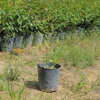 福建漳州桉树苗基地各种规格大量批发供应  自家货源,无中介