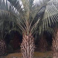 福建漳州布迪椰子基地各种规格大量批发供应 自家货源,无中介