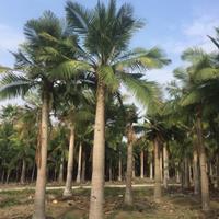 福建漳州国王椰子基地各种规格大量批发供应 自家货源,无中介