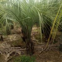 福建漳州蒲葵基地各种规格大量批发供应 自家货源,无中介
