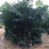 福建漳州鱼尾葵基地各种规格大量批发供应 自家货源,无中介