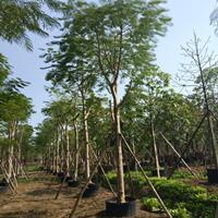 福建漳州凤凰木基地各种规格大量批发供应 自家货源,无中介