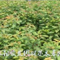 江苏[产品]江苏绣线菊行情报价-图片展示-产地直销-规格齐全