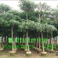 漳州代办精品盆架子20公分 袋苗地苗