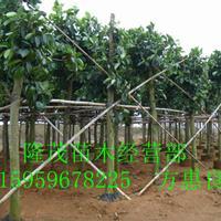 漳州代办精品高山榕8至50公分 地苗袋苗