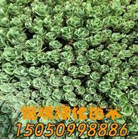 江苏[产品]/江苏八宝景天价格/报价