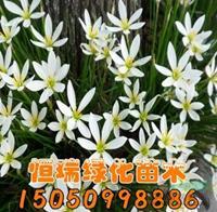 江苏葱兰批发/供应