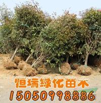 高杆石楠树行情报价/高杆石楠树图片展示