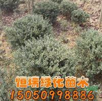 江苏龟甲冬青球批发/供应