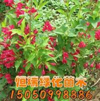 江苏[产品]/江苏红王子锦带小苗价格/报价
