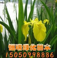 江苏[产品]/江苏黄菖蒲价格/报价