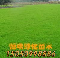 优质特价马尼拉草坪产地直销