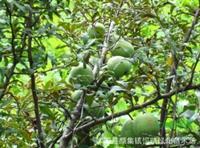 大小规格木瓜树基地