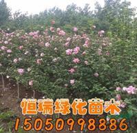 优质特价木槿小苗产地直销