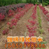 日本红枫小苗图片/日本红枫小苗报价