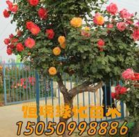 优质特价树状月季产地直销