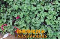 优质特价天竺葵盆景产地直销