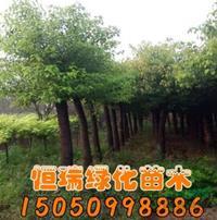 2018年江苏香樟树*新报价