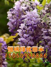 江苏[快乐飞艇]/江苏紫藤小苗价格/快乐赛车开奖