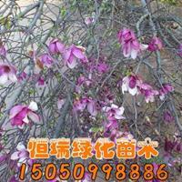 大小规格紫玉兰树苗基地
