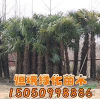 优质特价棕榈产地直销