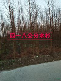 江西快乐赛车开奖4-8公分水杉规格齐全