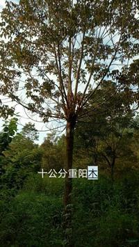 10公分重阳木图片/10公分重阳木报价