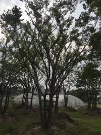 江蘇[產品]/江蘇叢生樸樹 2桿到15桿價格/報價