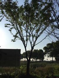 江苏[产品]/江苏胸径25公分榉树7价格/报价