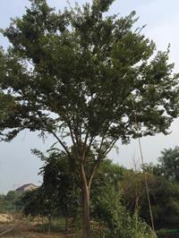 江苏胸径25公分榉树8哪里好/哪家便宜