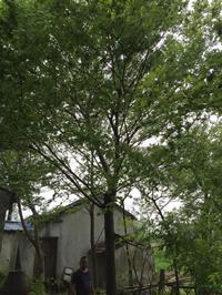 胸径25公分榉树9行情报价/胸径25公分榉树9图片展示