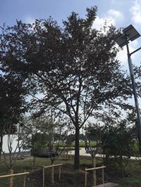 江苏胸径25公分榉树10介绍/特征/用途