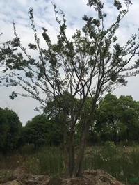 大小规格丛生朴树 2杆到15杆2基地