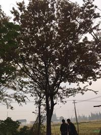 2018年江蘇胸徑25公分櫸樹12*新報價