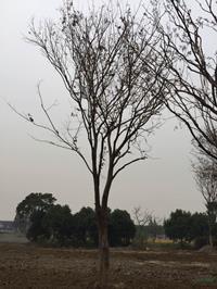 2018年江蘇胸徑25公分櫸樹13*新報價