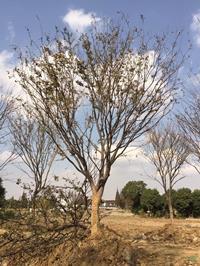 江蘇[產品]/江蘇胸徑25公分櫸樹14價格/報價